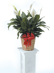 Large Peace Lily from Kircher's Flowers in Defiance and Paulding, OH