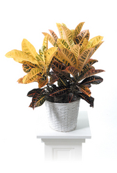 Croton plant from Kircher's Flowers in Defiance and Paulding, OH