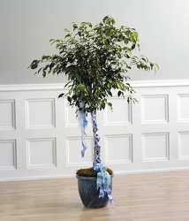 Decorated Ficus Tree from Kircher's Flowers in Defiance and Paulding, OH