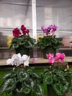 Cyclamen from Kircher's Flowers in Defiance and Paulding, OH