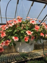 Impatien Hanging Basket  from Kircher's Flowers in Defiance and Paulding, OH
