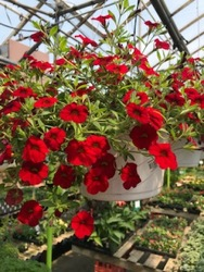 Calibrachoa Hanging Basket from Kircher's Flowers in Defiance and Paulding, OH